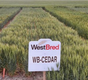 WB-CEDAR