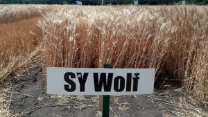 wolf wheat