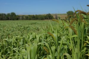 Foxtail Millet growth stages