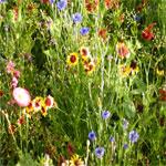 ArrowAnnualWildflowers