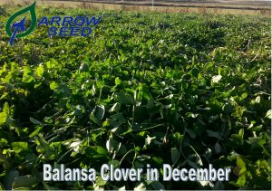 Balansa clover in December