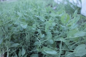 Montech Field Peas